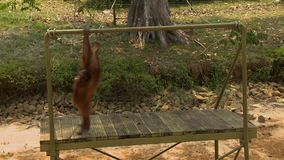 Orang-utan Swinging | Orang Utan Island, Malaysia. Medium low-angle still shot of Orang-utan holding, hanging and swinging on a metal bar at a Conservation stock video