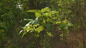Dwarfed teak plant in a forest, Taungoo, Myanmar