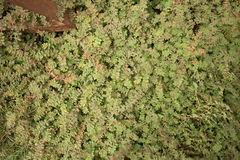 Medium overhead view of green ground level vegetation with bare earthy patch visible. Royalty Free Stock Images