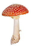 Medium red fly agaric isolated on white Stock Photo