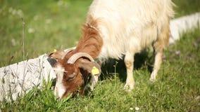 Medium shoot of free range goat, Turkey stock footage