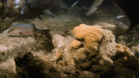 A shot of corals and black fish on seabed. A medium shot of black big fish underwater and other fish on seabed stock footage