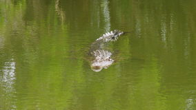 Medium shot of a crocodile hiding under water. A medium shot of a crocodiles head floating through green water with eyes above the surface stock video