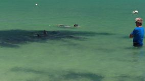 A dolphin underwater shot. A medium shot of dolphin swimming with people watching them. Camera tracks the movement of the dolphin stock video footage