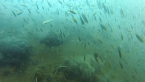Rain of fish underwater. A medium shot of fish underwater that looks like rain of fish stock video footage