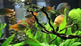 Medium shot of goldfish stock video
