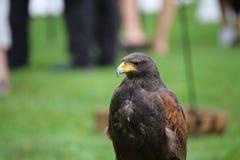 Medium shot of Harris hawk (Parabuteo unicinctus) Royalty Free Stock Photography
