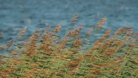 Medium shot of reeds swinging in strong wind in front of water of the lake stock video