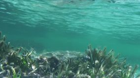 Yellow belly fish underwater. A medium shot of seaweeds and yellow belly fishes underwater stock video footage