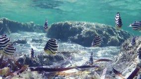Yellow belly fish underwater. A medium shot of seaweeds and yellow belly fishes underwater stock video