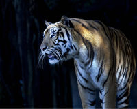 Medium shot of a tiger's face with bare teeth of Bengal Tiger. Bengal tiger standing in front of the cave royalty free stock photo