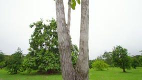 A medium shot of tree. A medium shot of a Davidson plum tree. Shot tilts up to show the whole tree stock footage