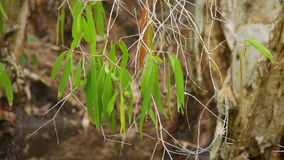 A shot of jungle tree`s leaves. A medium shot of tree`s leaves. Panning shot to the right stock footage