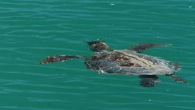 Turtle on the ocean shot. A medium shot of a turtle on the ocean. Camera tracks the movement of the turtle stock video