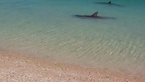 Two dolphins and beach shot. A medium shot of two dolphins and a beach in slow motion. Camera tracks the movement of the dolphins stock video