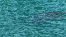 Ocean and two dolphins in slow motion. A medium shot of two dolphins in the ocean in slow motion. Camera tracks the movement of the dolphin stock video footage