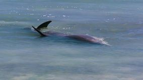 Ocean and two dolphins in slow motion. A medium shot of two dolphins in the ocean in slow motion. Camera tracks the movement of the dolphins stock footage