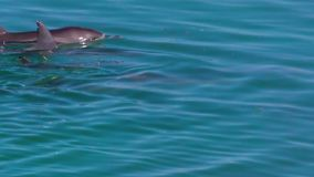 Ocean and two dolphins in slow motion. A medium shot of two dolphins in the ocean in slow motion. Camera tracks the movement of the dolphins stock video footage