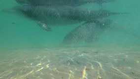 Two dolphin underwater shot. A medium shot of two dolphins at underwater. Camera tracks the dolphin`s movement stock video footage