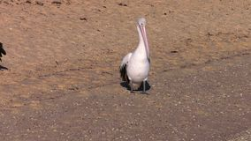 Two pelicans on a beach shot. A medium shot of two pelicans on the beach stock footage