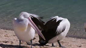 Pelicans head and ocean background. A medium shot of two pelicans and ocean at the background stock video footage
