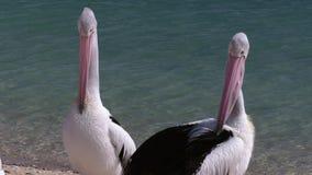 Pelicans head and ocean background. A medium shot of two pelicans and ocean at the background stock video