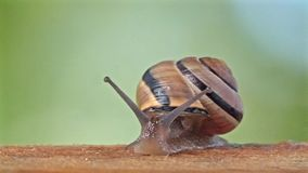 Medium Shot of a White Lipped Snail stock video
