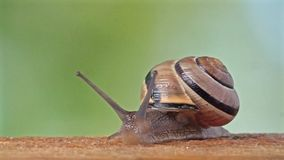 Medium Shot of a White Lipped Snail stock footage