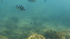 Zebra fish underwater. A medium shot of a zebra skinned fish underwater stock footage