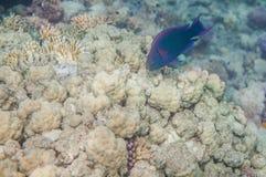 Medium size blue scarus fish. Underwater landscape. Red sea coral reef. Medium size blue scarus fish Stock Photo