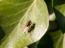 Medium size fly with big red eyes resting on a leaf not moving m. Otionless outside in late afternoon spring insect macro Royalty Free Stock Images