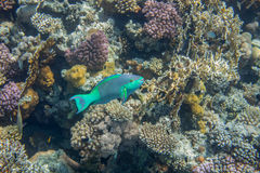 Medium size green scarus fish. Underwater landscape. Red sea coral reef. Medium size green scarus fish Stock Photography