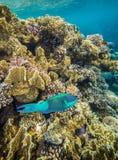 Medium size green scarus fish. Underwater landscape. Red sea coral reef. Medium size green scarus fish Stock Photos
