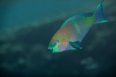 Medium size green scarus fish Royalty Free Stock Photography