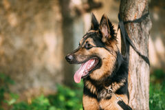 Medium Size Long-Haired Mixed Breed Black And Red Adult Dog With Stock Images
