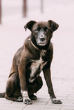 Medium Size Mixed Breed Homeless Dog Sit Outdoor On Street Royalty Free Stock Image