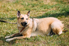 Medium Size Mongrel Mixed Breed Short-Haired Yellow Adult Female Stock Photos