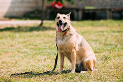 Medium Size Short-Haired Mixed Breed Yellow Adult Dog With Opened Jaws Royalty Free Stock Photography