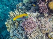 Medium size yellow scarus fish. Underwater landscape. Red sea coral reef. Medium size yellow scarus fish Stock Photo
