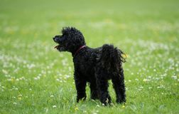 Black poodle staying on grass in a park. Medium-sized Black poodle staying on green grass in a park in sunny day stock photos
