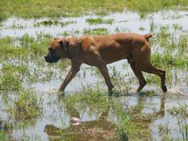 A medium sized dog walking in the swamp. Medium sized dog walking swamp nature natural dogs grass water puddle brown pet pets furry friend friends happy stock image