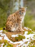 Eurasian Lynx looking to side Royalty Free Stock Images