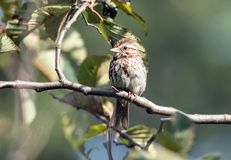 Song Sparrow Melospiza melodia perching on leafy branch,Ontario. A medium-sized streaky brown bird,Song Sparrow, native to North America sitting on leafy branch stock photo
