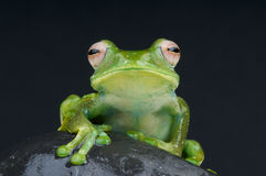 White spotted tree frog / Boophis sibilans Royalty Free Stock Photo