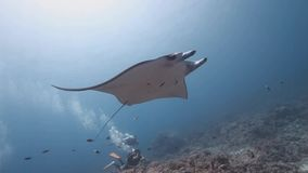 Reef manta ray swim on coral reef. Medium Tracking shots of Reef manta ray Manta alfredi hover/swim on the coral reef stock video footage
