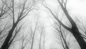 Riding in the mist along tall bare leafless winter trees. Medium wide low angle tracking shot shot moving below and along barren trees standing in the mist stock footage