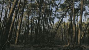 Sunset wild pine tree woods forest wilderness. Medium wide tracking shot of the setting sun shining on pine tree trunks in a wild forest stock video footage