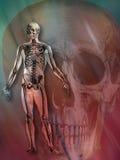 Medizinisch - menschliches Skelett stockfotografie