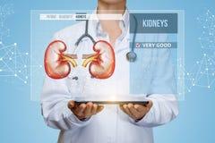 Medizinische Arbeitskraft überprüft die Gesundheit der Nieren des Patienten lizenzfreies stockbild