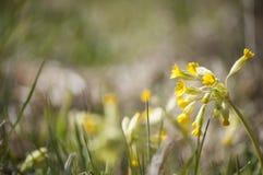 Medizinische Betriebsnahaufnahme von gelben Schlüsselblumen Primel veris blüht im Sonnenlicht Stockfotografie